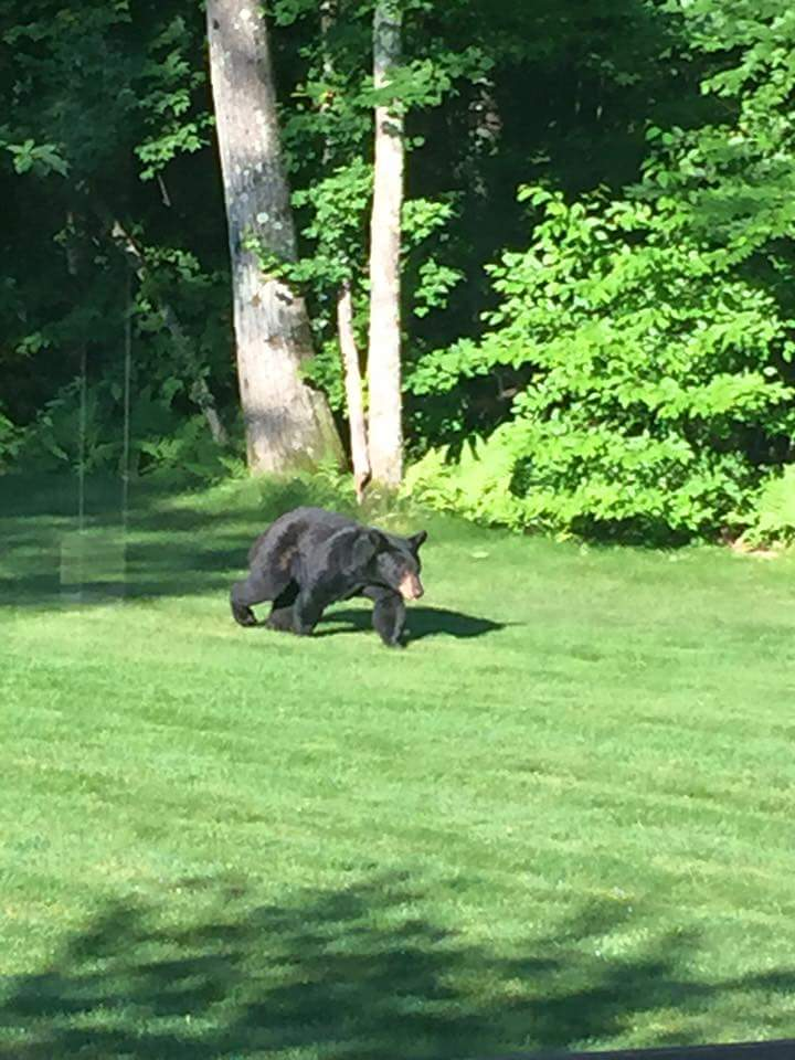 This bear was actually spotted in my neighborhood the day I left for New Hampshire!